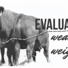 Evaluating Weaning Weights